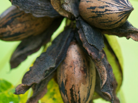 Pecan Shipments Surge Causing Inventory to Drop