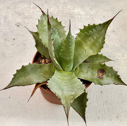 Agave parassana 'Meat claw'#1