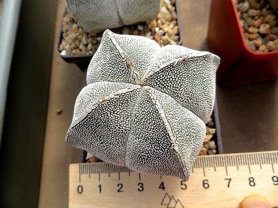 Astrophytum myriostigma cv. Onzuka #2