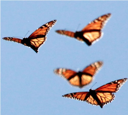 Migratory monarchs in flight