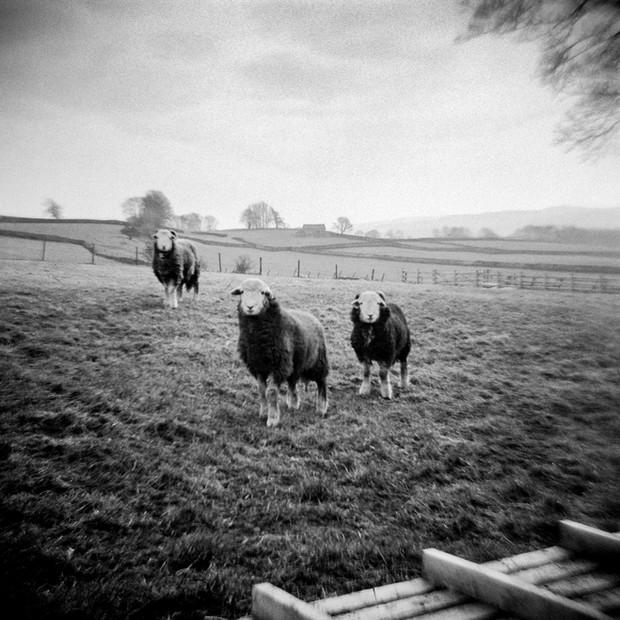 The Three Herdwicks