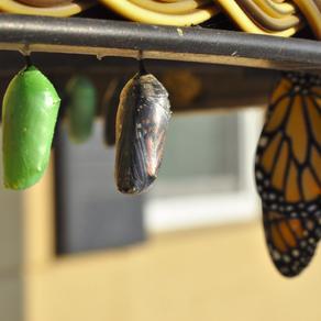 38. élèver un papillon