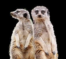 Meerkats.png