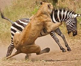 lion kill.PNG