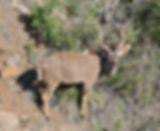 greater kudu.jpg