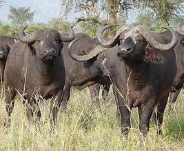 cape-buffalo-2074923_960_720.jpg