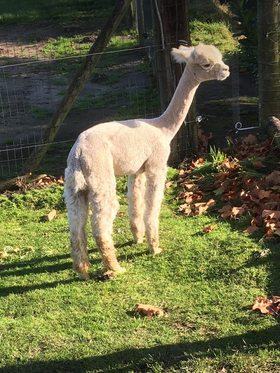 alpaca merrie 6