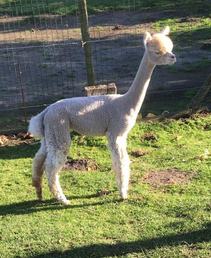 alpaca merrie 4