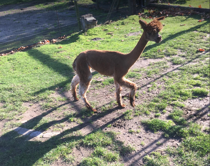 alpaca merrie 5
