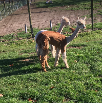alpaca merrie 9