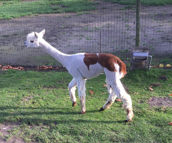 alpaca merrie 1