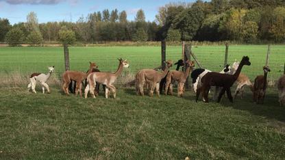 alpaca groep 2