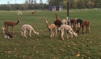 nieuwe groep alpaca merries 2