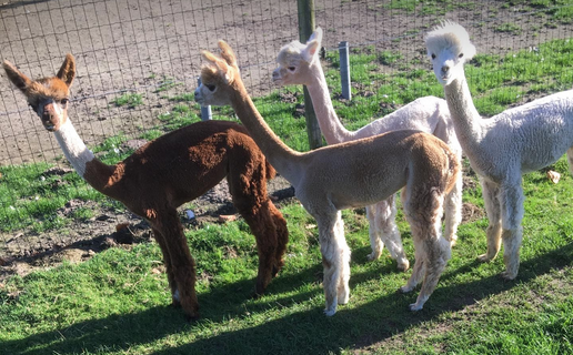 alpaca merries 1