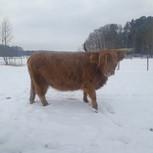 Highland-Kuh Betty vom Airfield