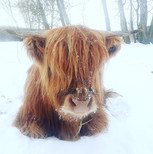 Highland-Kuh Serenia vom Airfield