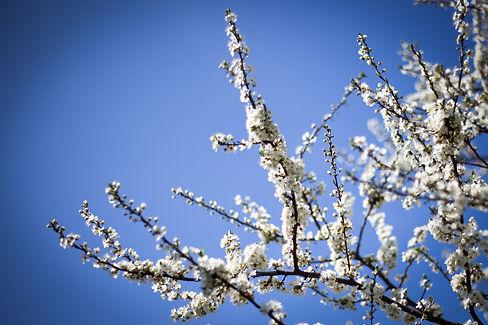 Mikrovineri frugttræ