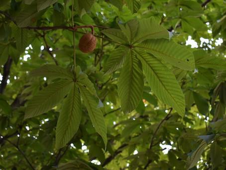 Aesculus turbinata : Japanese Horse Chestnut