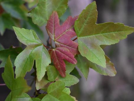 Acer buergerianum: Trident Maple