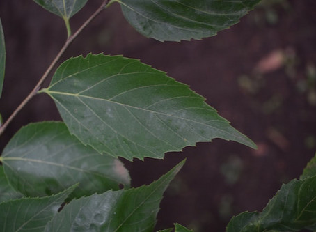 Aphananthe aspera: Muku Tree