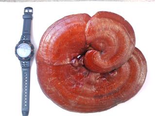 Principes de longévité et le champignon Ganoderma Lucidum (ReiShi, Lingzhi)