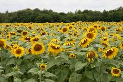Sunflowers near Soudat