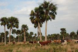 Allapattah Cattle 5.jpg