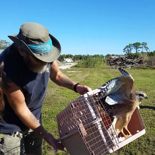 Tim from Treasure Coast Wildlife Center releases a rehabilitated hawk at the Farms