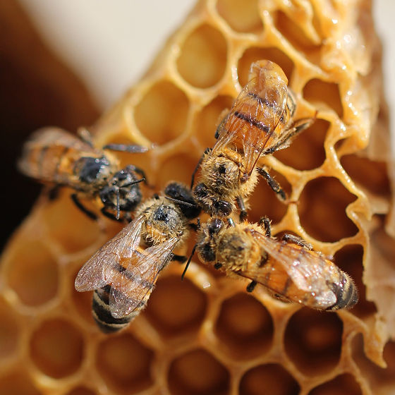 Four%20bees%20on%20their%20honeycomb_edited.jpg
