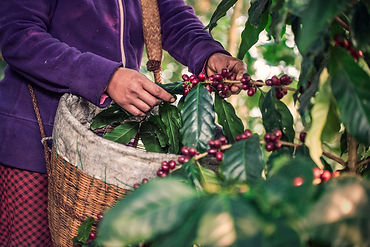 Coffee-Plants-Web-Size-36-_.jpg