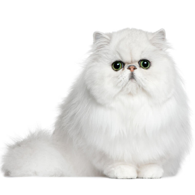 gato-persa-blanco-chato.jpg