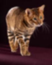 BOB-Toyger-Cat-Tigervisions-Comaro_edite