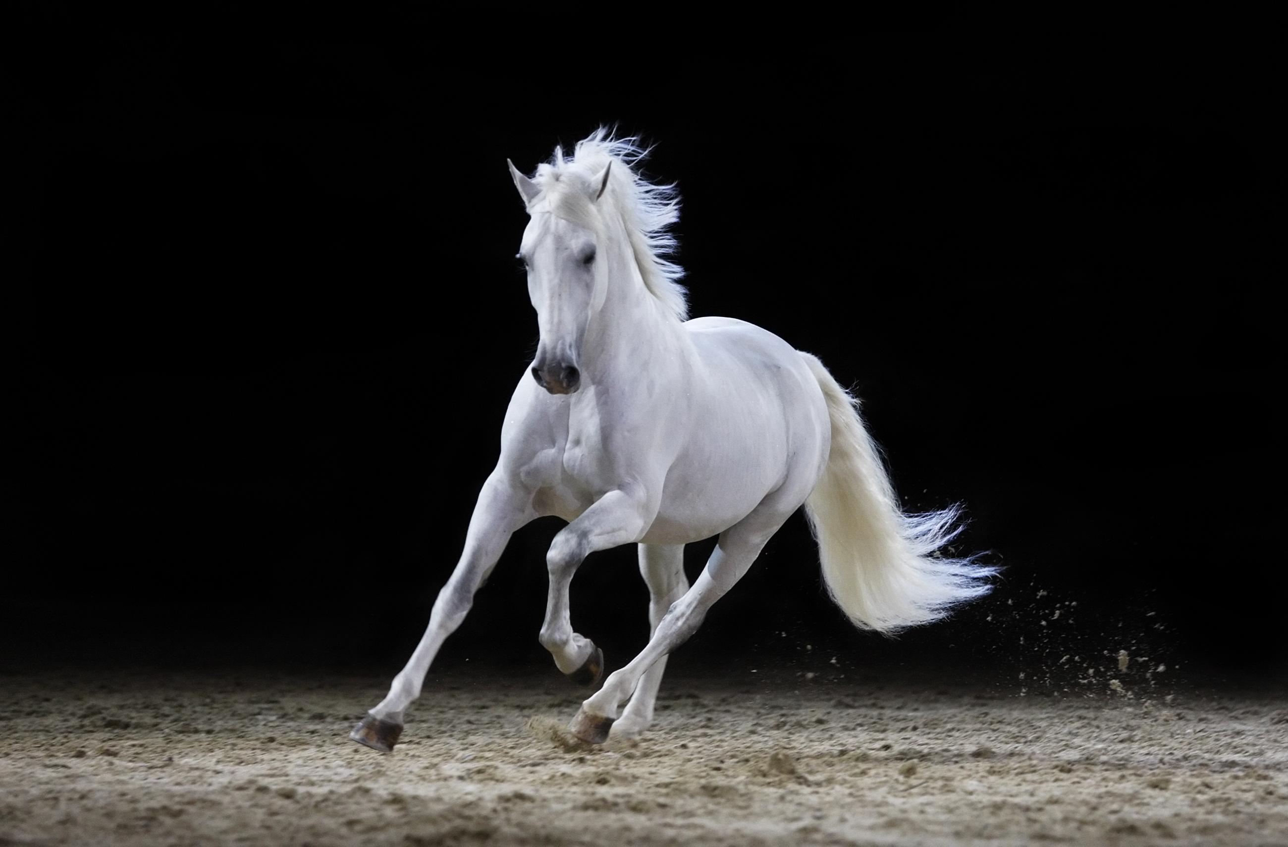Gray-stallion-galloping-117147973_2600x1710.jpeg