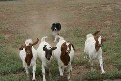 archie goats.jpg