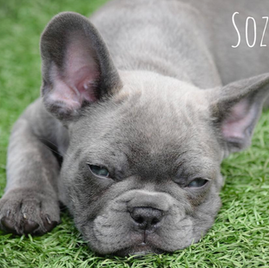 Sozo- blue french bulldog