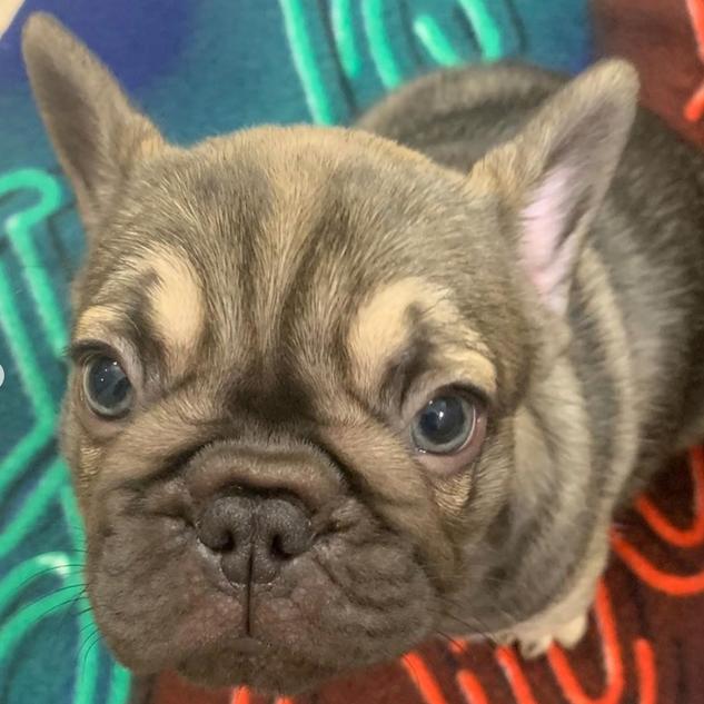 Chocolate Maddox Puppy