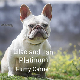 Bad Action- lilac and tan platinum carries fluffy