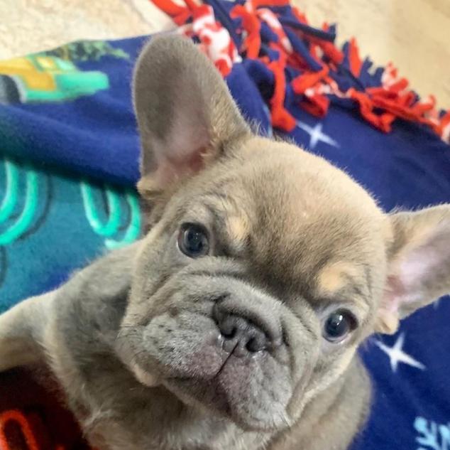 Lilac Fawn Maddox Puppy