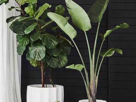 BIGGER IS BETTER- oversized indoor plants