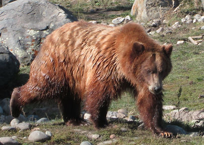 Grizzly in Montana.jpg