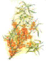 Facial Sea Buckthorn Oil Blend