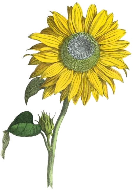 sunflowers Natural skin care