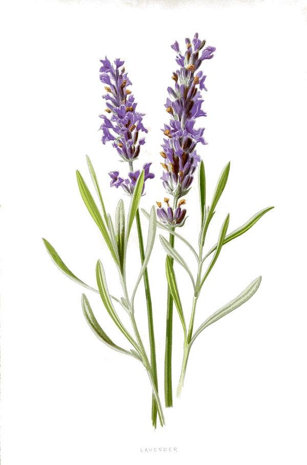 Natural Lavender Skin Care