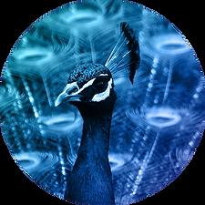 PeacocksCircles-2.png
