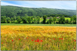 Poppies and wheat