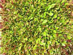 lettuce3_edited.jpg