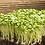 Thumbnail: Spinach - Mustard (Komatsuna)