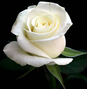 white-rose.png