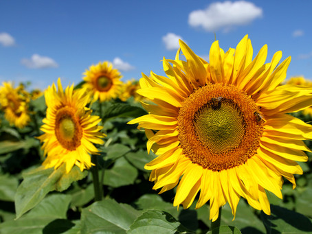 Improve Heart and Skin Health With Sunflower Seeds