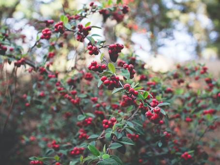 The Surprising Immune-Boosting Benefits of Huckleberries